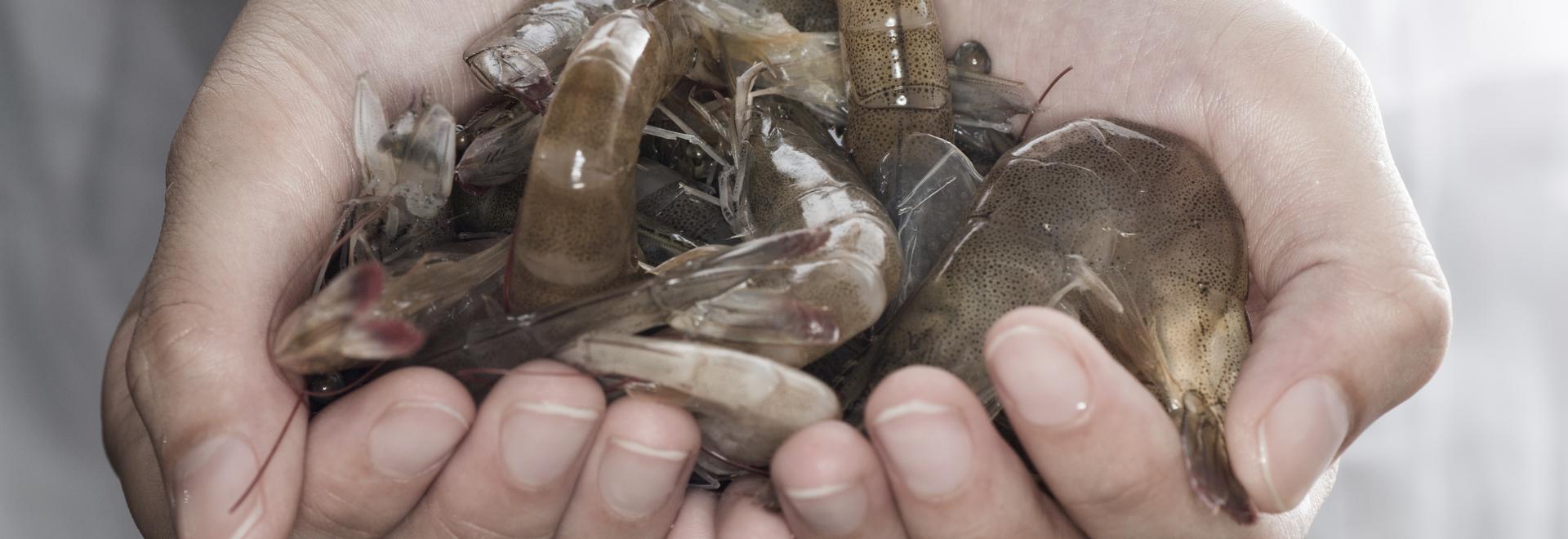 Optimizing shrimp aquaculture with Sonar Technology