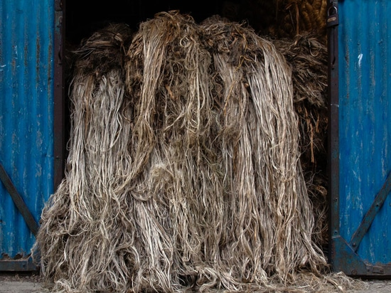 Jute in Bangladesh (Courtesy of Gold of Bengal)