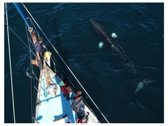 The research team onboard 'Silurian' sight a minke whale. Credit: The Hebridean Whale and Dolphin Trust